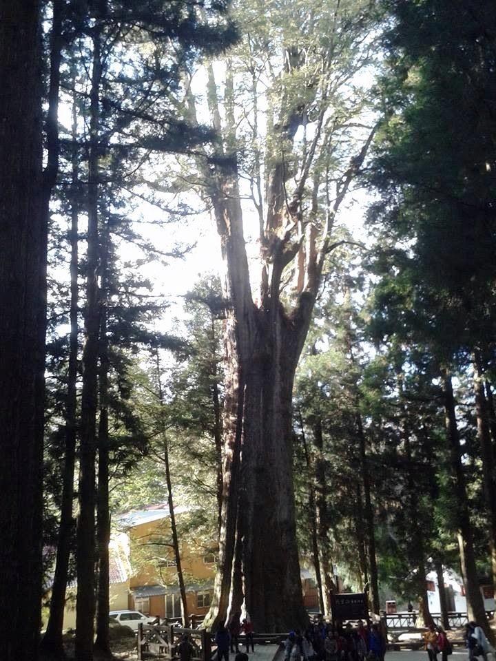 超高針葉林中的二代神木,西元前三百年以上,樹高十五公尺,樹圍十二點三公尺